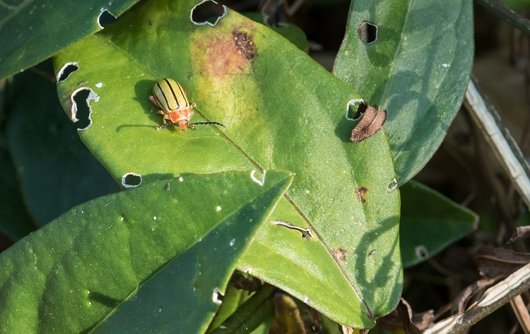 flea on leaf